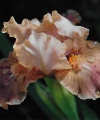 Iris Apricot Drops leparadisdansmacour.com