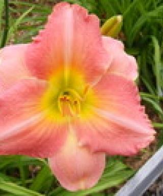 hémérocalle Best Keep Secret leparadisdansmacour.com