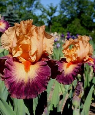 Iris Brazilian Art leparadisdansmacour.com