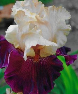 Iris Broad Shoulder leparadisdansmacour.com