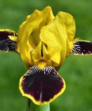 Iris Bumblebee Deelite leparadisdansmacour.com