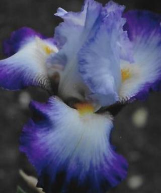 Iris Conjuration leparadisdansmacour.com