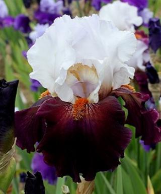 Iris Connexion leparadisdansmacour.com