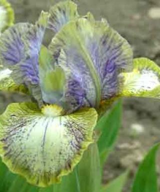 Iris Conundrum leparadisdansmacour.com