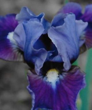 Iris Devoted leparadisdansmacour.com