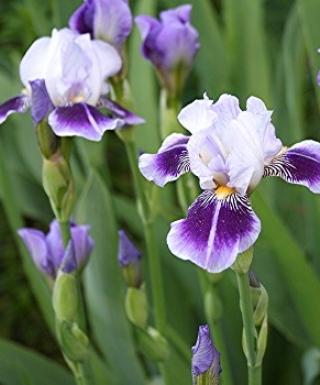 Iris Dividing Line leparadisdansmacour.com