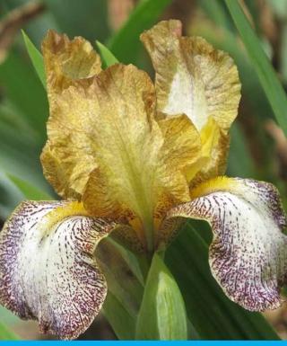Iris Eramosa Freckles leparadisdansmacour.com