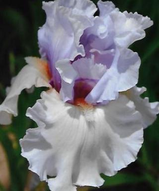 Iris Fogbound leparadisdansmacour.com