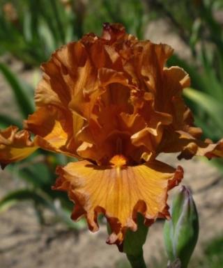 Iris Golden Panther leparadisdansmacour.com