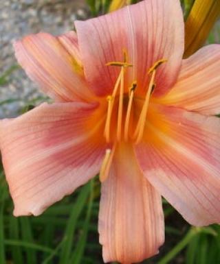 hémérocalle Hall's Pink leparadisdansmacour.com
