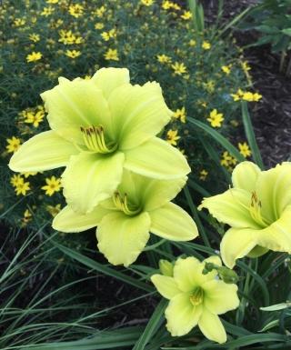 hémérocalle Green Flutter leparadisdansmacour.com