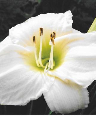 hémérocalle White Temptation leparadisdansmacour.com