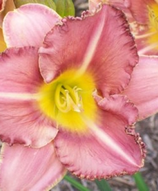 hémérocalle Lavender Aristocrat leparadisdansmacour.com