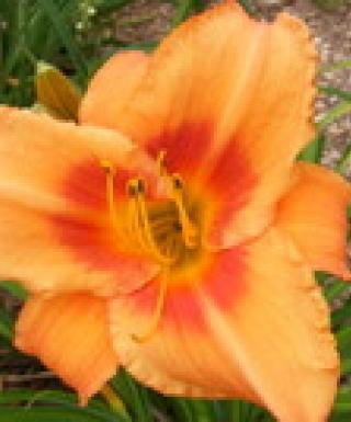 hémérocalle Leebea Orange Crush leparadisdansmacour.com