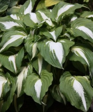 Hosta Night Before Christmas leparadisdansmacour.com
