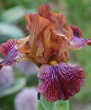 Iris Redrock Princess leparadisdansmacour.com