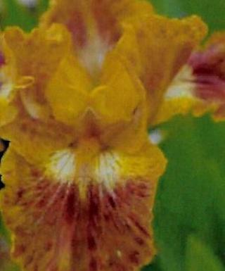 Iris Touch of Tuscany leparadisdansmacour.com