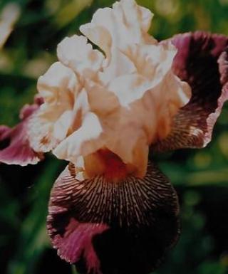 Iris Yipes Stripe leparadisdansmacour.com