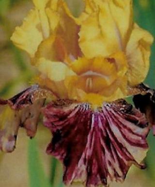 Iris Ziggy leparadisdansmacour.com