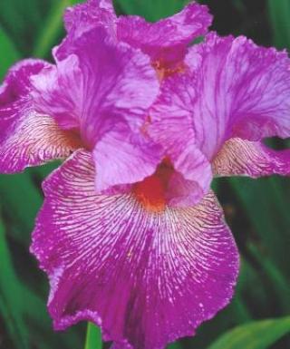 Iris Anything Goes leparadisdansmacour.com