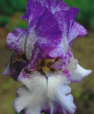 Iris Autumn Tryst leparadisdansmacour.com