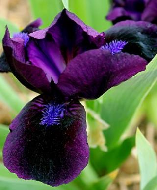 Iris Black Lightning leparadisdansmacour.com