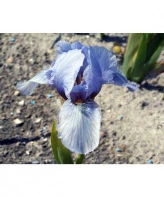 Iris Blue Denim leparadisdansmacour.com