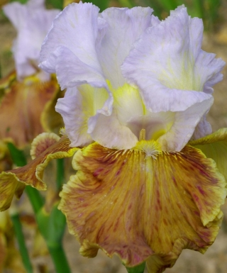 Iris Changing Seasons leparadisdansmacour.com