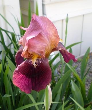 Iris Dauntless leparadisdansmacour.com