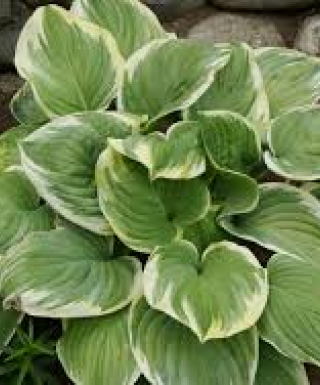 Hosta Fragrant Dream leparadisdansmacour.com