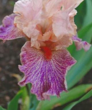 Iris Frisky Frolic leparadisdansmacour.com