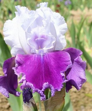 Iris Gay Parasol leparadisdansmacour.com