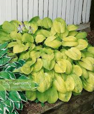 Hosta Good as Gold leparadisdansmacour.com