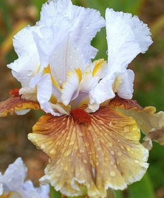 Iris Guatemala leparadisdansmacour.com