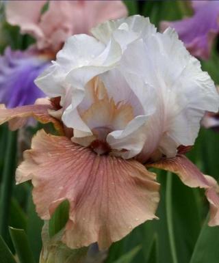 Iris Imprimis leparadisdansmacour.com
