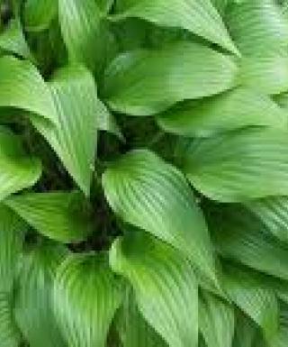 Hosta Lancifolia leparadisdansmacour.com