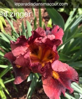 Iris Red Zinger leparadisdansmacour.com