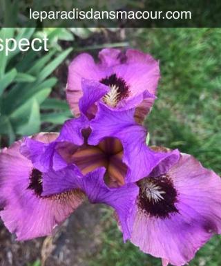Iris Suspect leparadisdansmacour.com