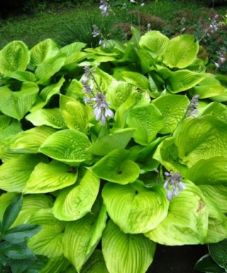 Hosta Sum and Substance leparadisdansmacour.com