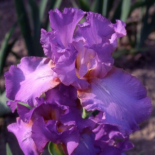 Iris Amethyst Flame leparadisdansmacour.com