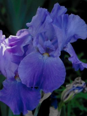 Iris Autumn Orchid leparadisdansmacour.com