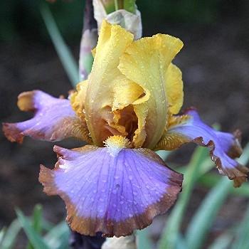 Iris Brown Lasso leparadisdansmacour.com