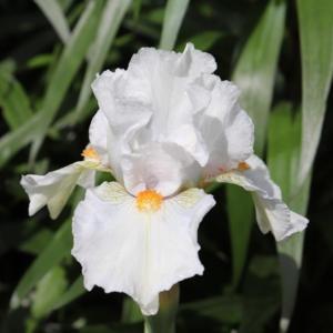 Iris I'll be Back leparadisdansmacour.com