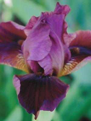 Iris Morning Snow leparadisdansmacour.com