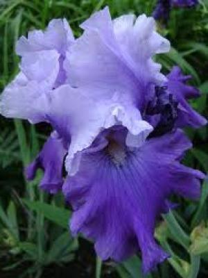 Iris Mystique leparadisdansmacour.com