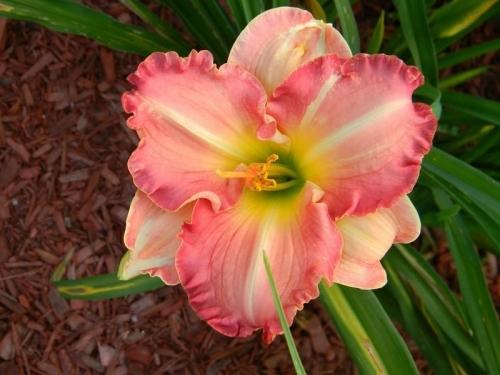 hémérocalle Antique Rose leparadisdansmacour.com
