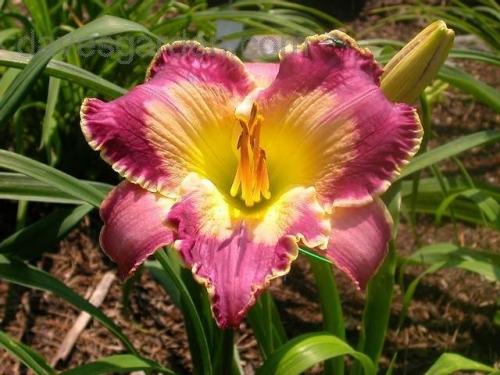 hémérocalle Azure Violets leparadisdansmacour.com